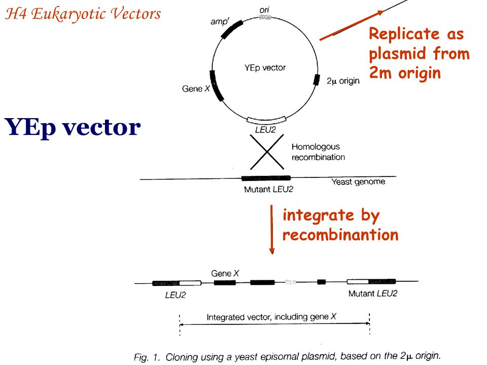 YEp vector H4 Eukaryotic Vectors Replicate as plasmid from 2m origin