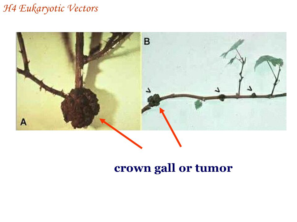 H4 Eukaryotic Vectors crown gall or tumor
