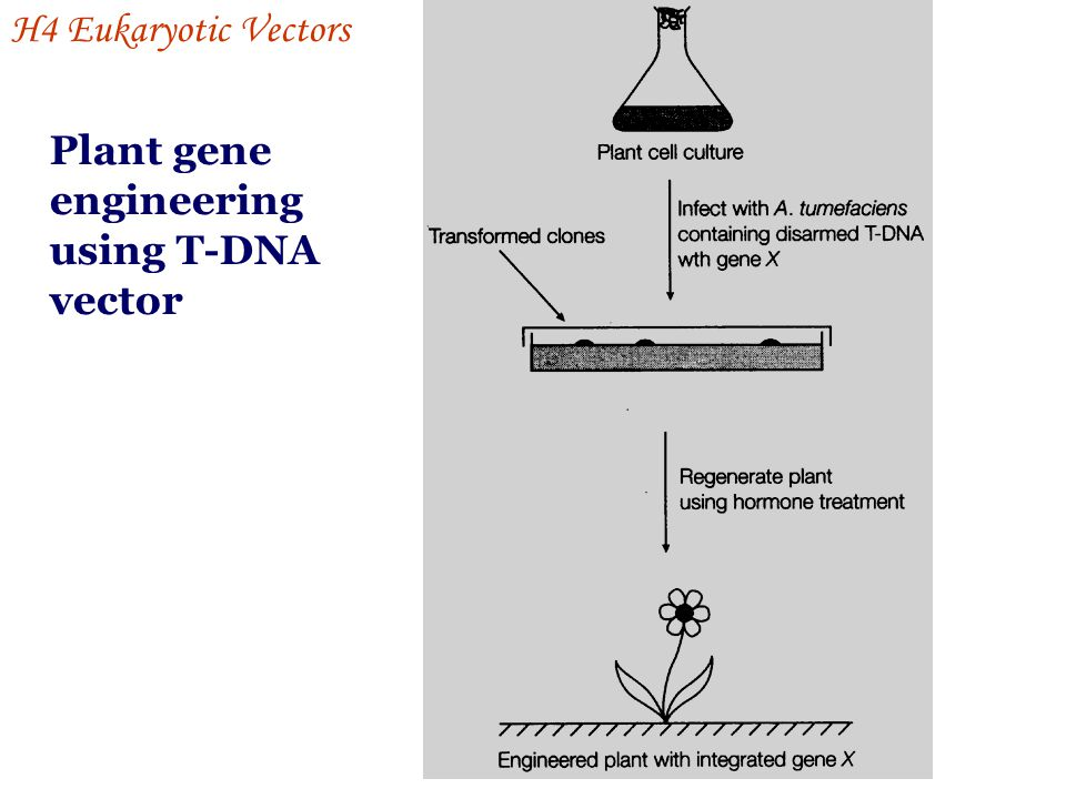 H4 Eukaryotic Vectors Plant gene engineering using T-DNA vector