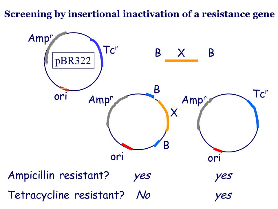 Ampicillin resistant yes yes Tetracycline resistant No yes