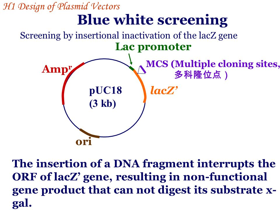 Blue white screening H1 Design of Plasmid Vectors Lac promoter Ampr