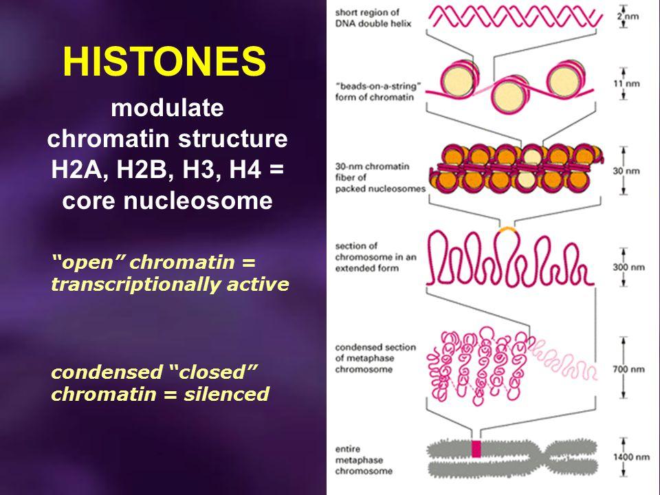 modulate chromatin structure H2A, H2B, H3, H4 = core nucleosome