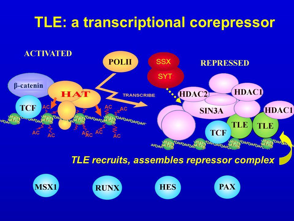 TLE: a transcriptional corepressor