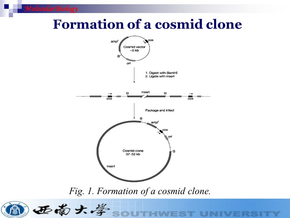 Formation of a cosmid clone