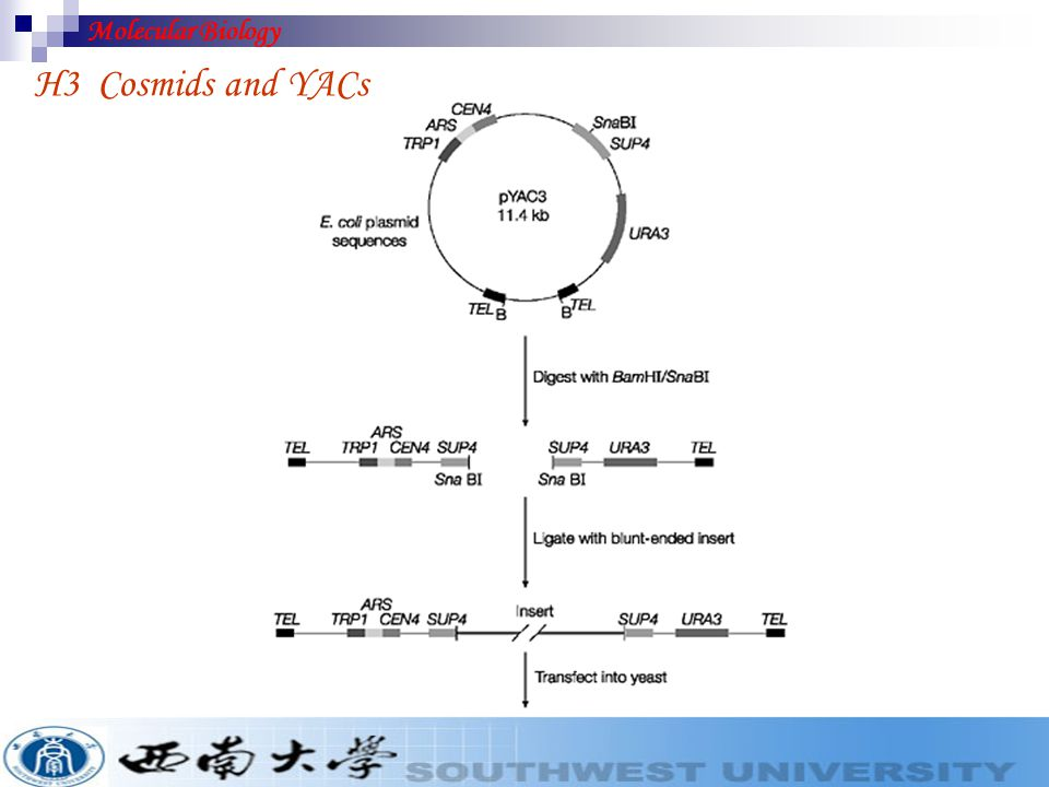 Molecular Biology H3 Cosmids and YACs