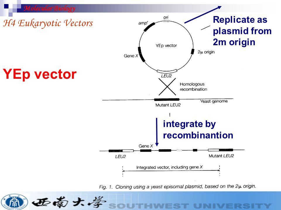 YEp vector H4 Eukaryotic Vectors Replicate as plasmid from 2m origin