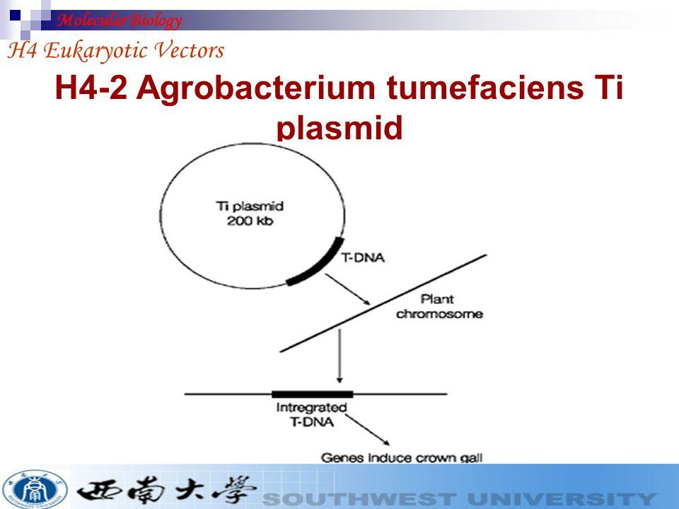 H4-2 Agrobacterium tumefaciens Ti plasmid
