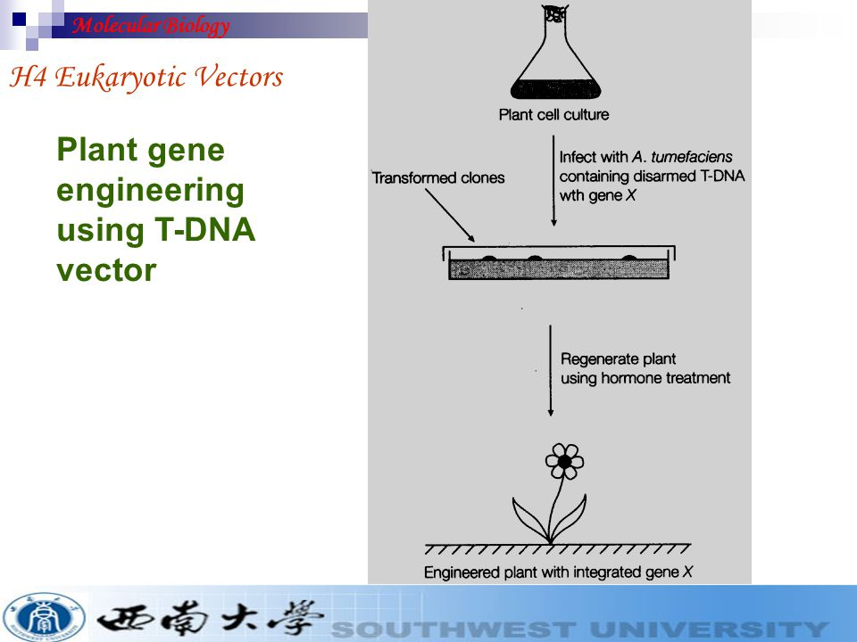 Plant gene engineering using T-DNA vector