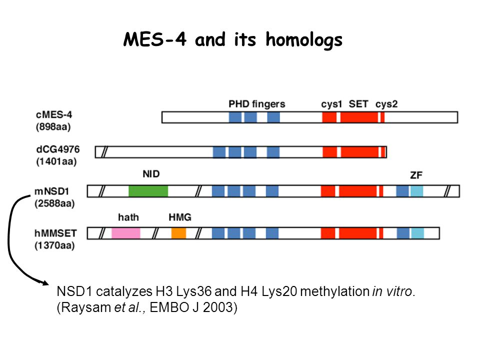 MES-4 and its homologs NSD1 catalyzes H3 Lys36 and H4 Lys20 methylation in vitro.