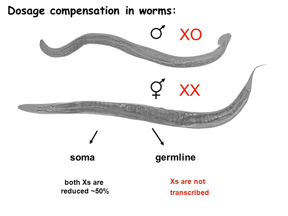XO XX Dosage compensation in worms: soma germline both Xs are