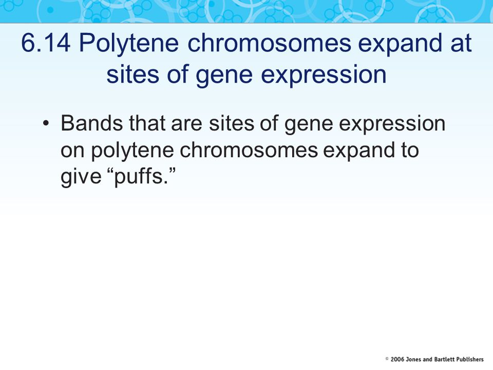 6.14 Polytene chromosomes expand at sites of gene expression