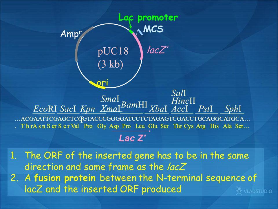 pUC18 (3 kb) Ampr ori MCS Lac promoter lacZ' EcoRI SacI KpnI SmaI XmaI