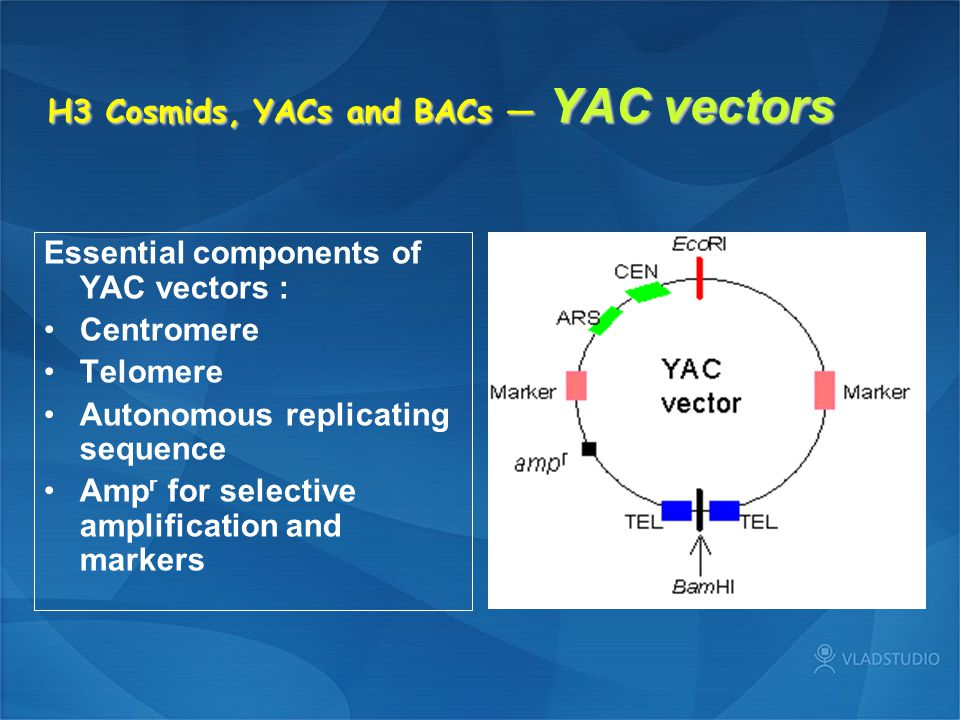 H3 Cosmids, YACs and BACs — YAC vectors