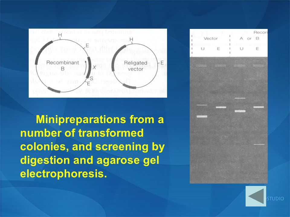 Minipreparations from a number of transformed colonies, and screening by digestion and agarose gel electrophoresis.