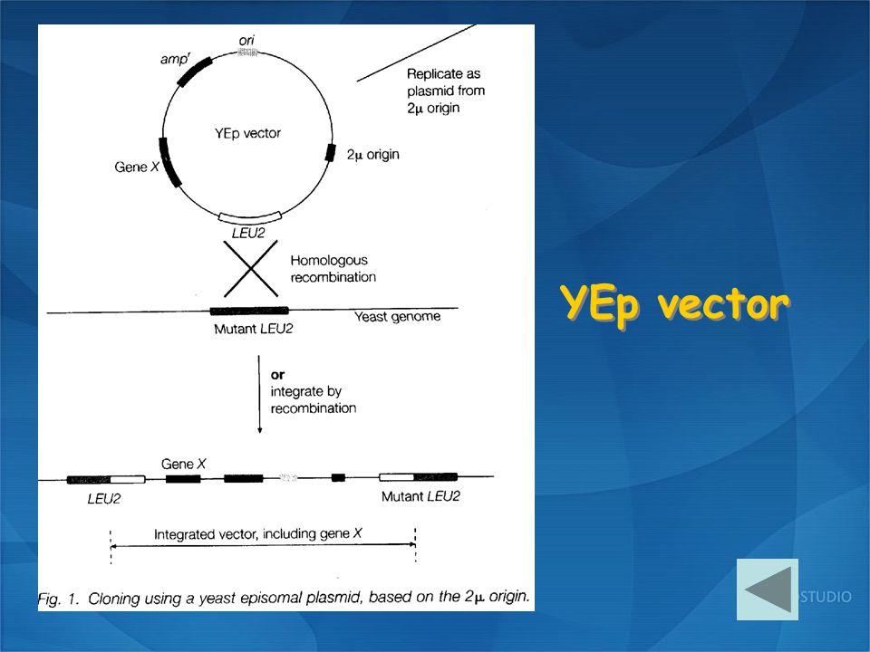 YEp vector