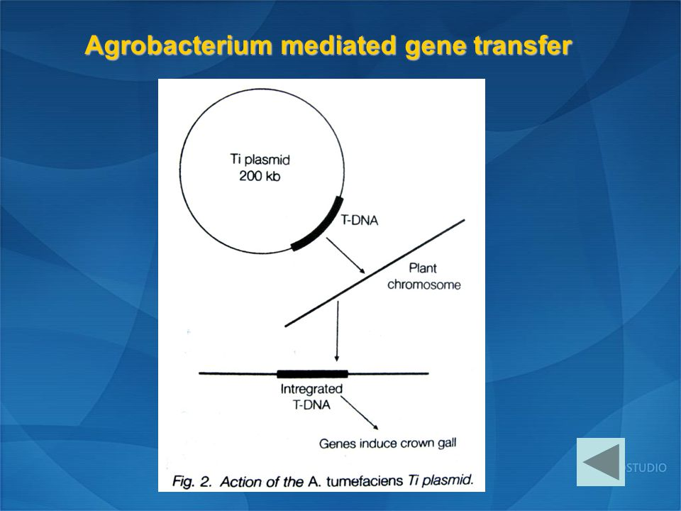 Agrobacterium mediated gene transfer