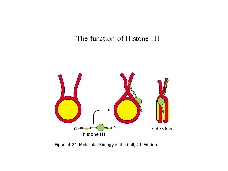 The function of Histone H1
