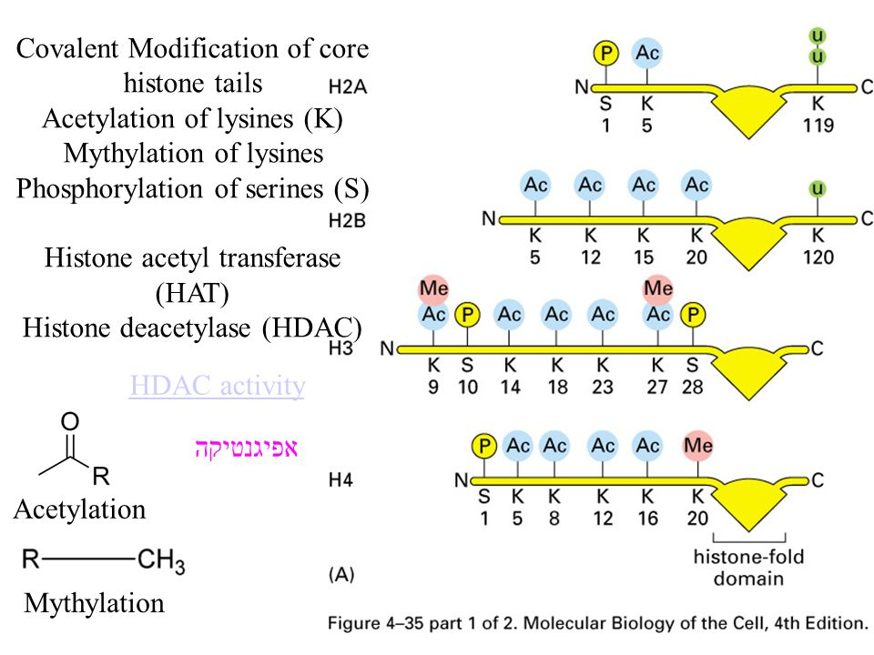 Covalent Modification of core histone tails Acetylation of lysines (K)