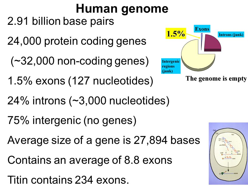 Human genome 2.91 billion base pairs 24,000 protein coding genes