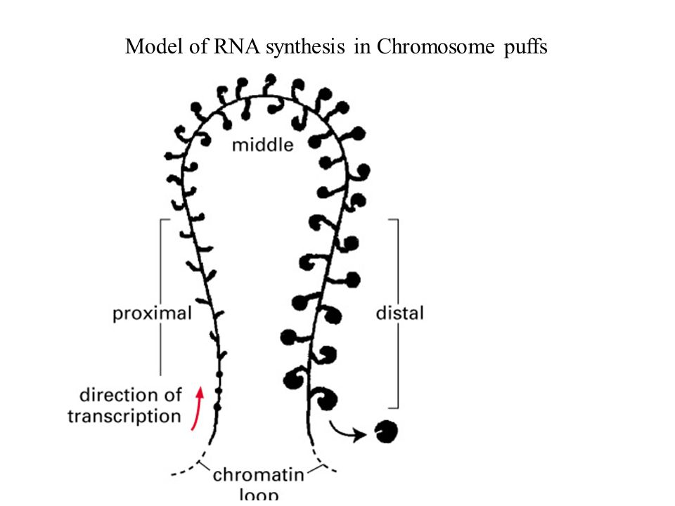 Model of RNA synthesis in Chromosome puffs