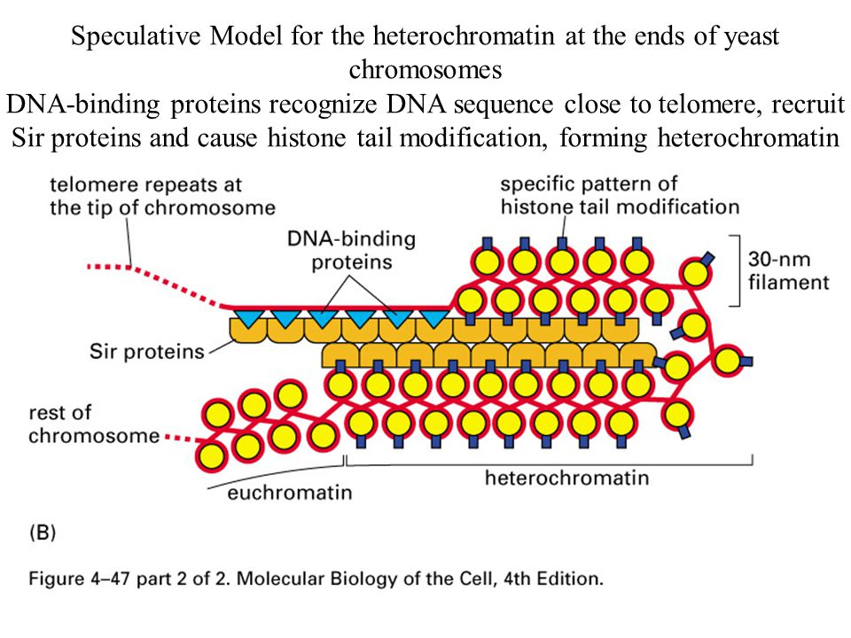 Speculative Model for the heterochromatin at the ends of yeast chromosomes