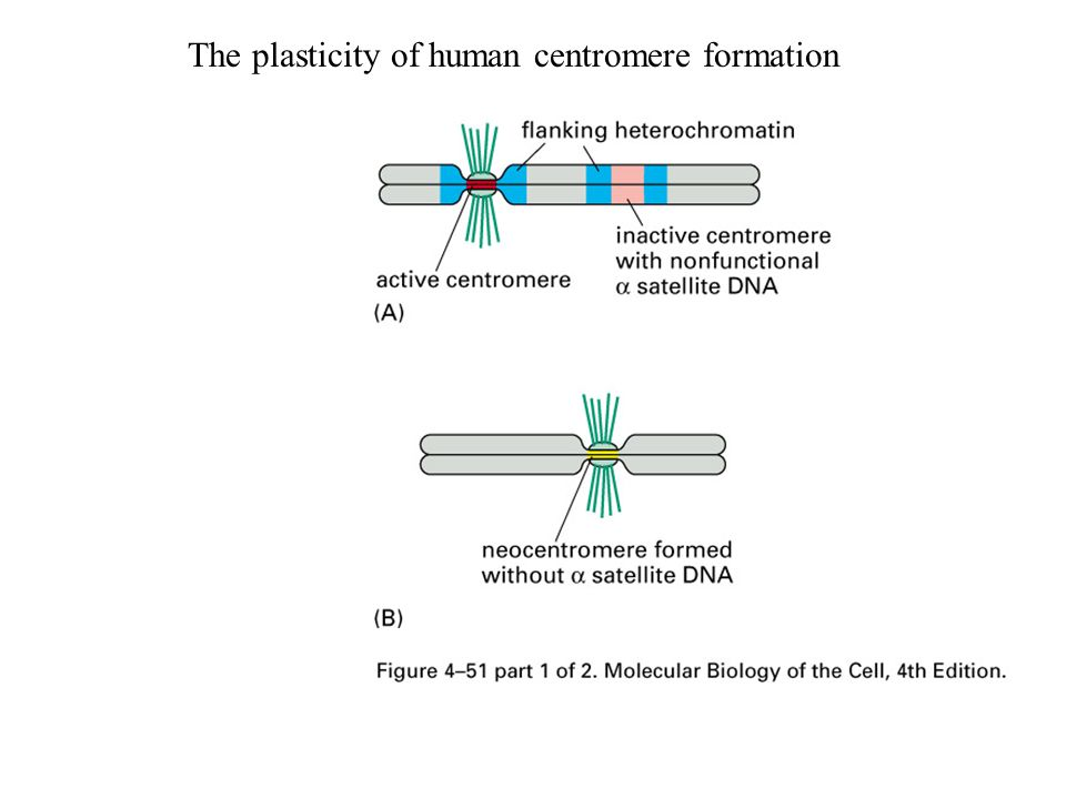 The plasticity of human centromere formation
