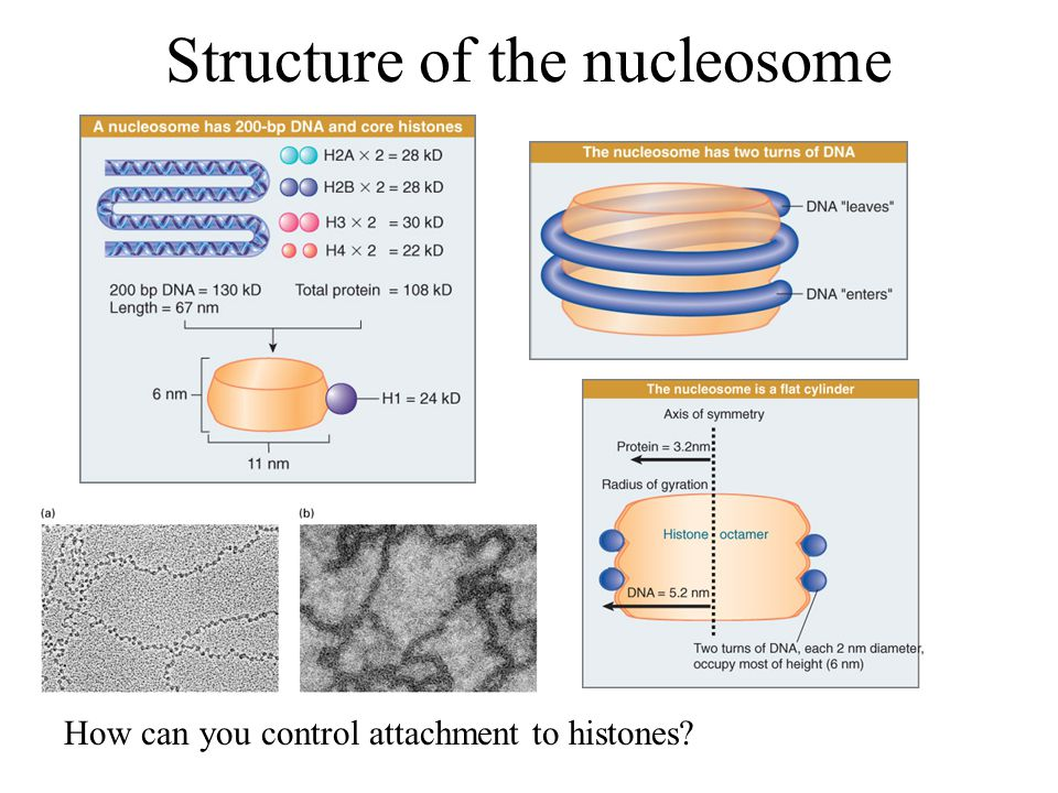 Structure of the nucleosome