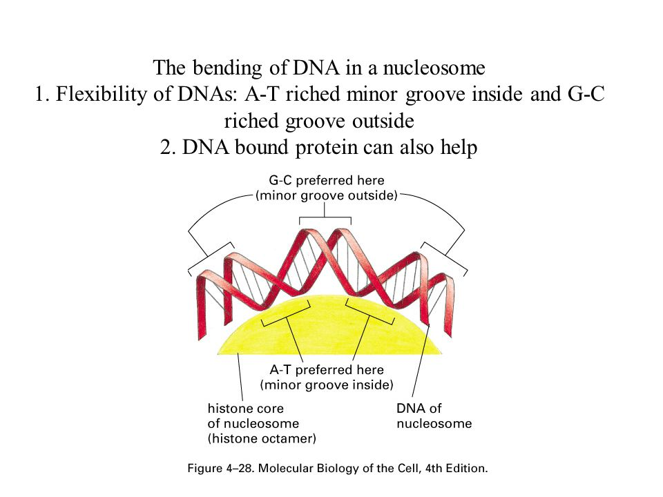 The bending of DNA in a nucleosome