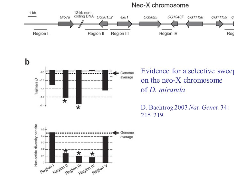 Evidence for a selective sweep on the neo-X chromosome of D. miranda