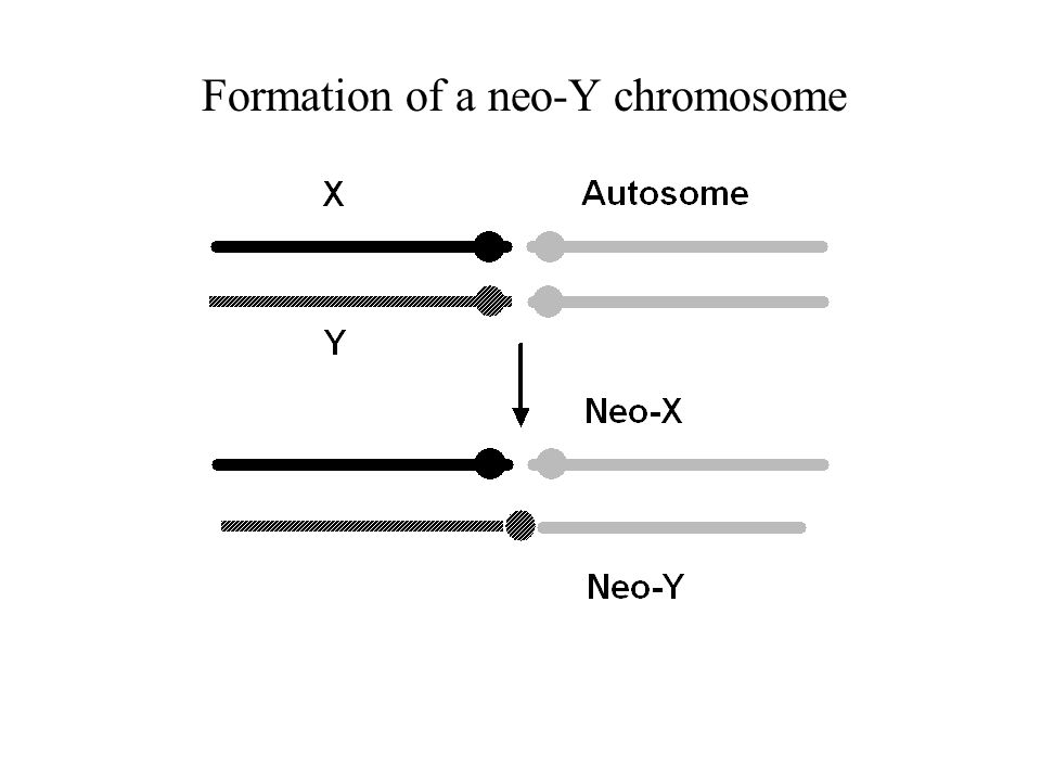 Formation of a neo-Y chromosome