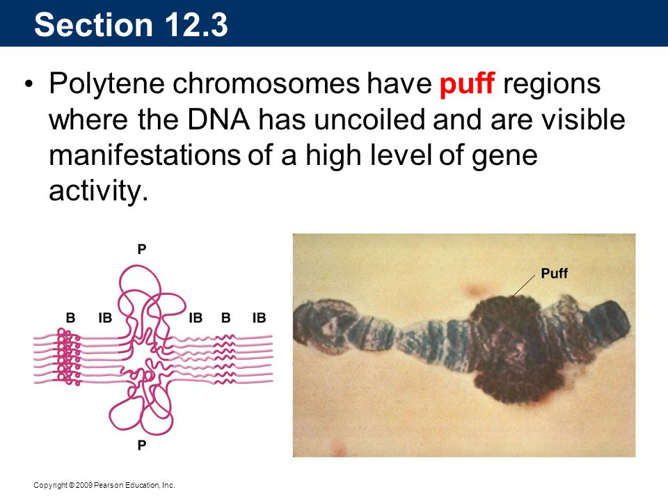 Section 12.3 Polytene chromosomes have puff regions where the DNA has uncoiled and are visible manifestations of a high level of gene activity.