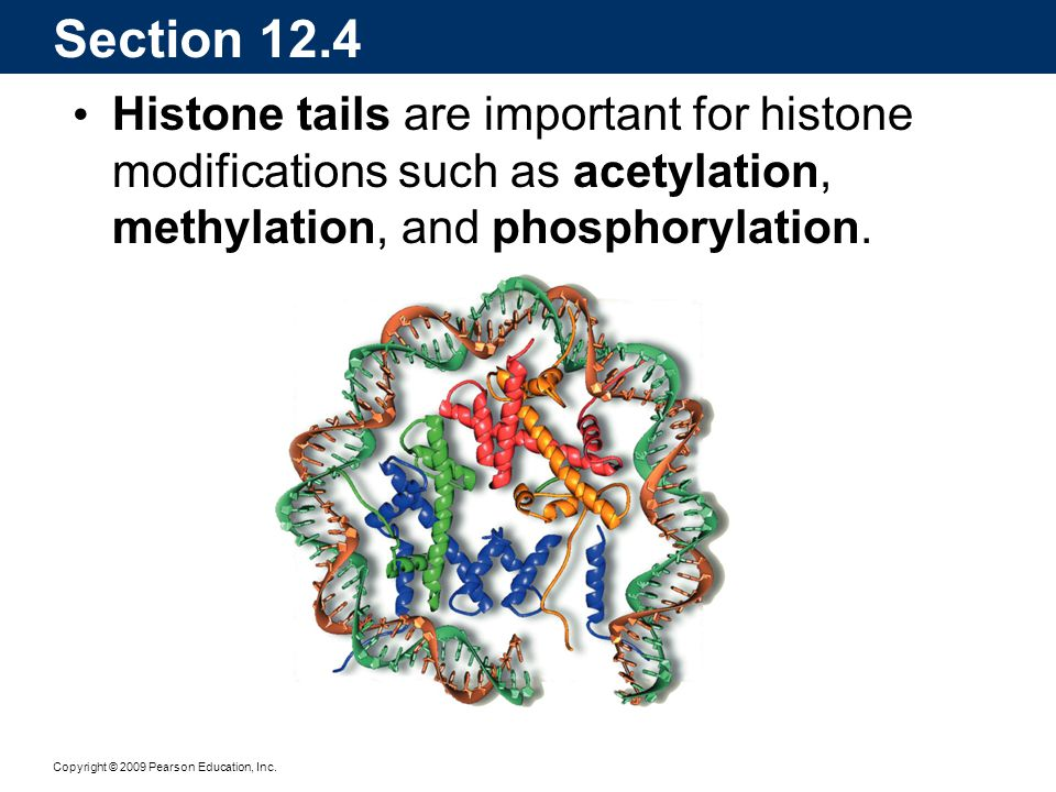 Section 12.4 Histone tails are important for histone modifications such as acetylation, methylation, and phosphorylation.