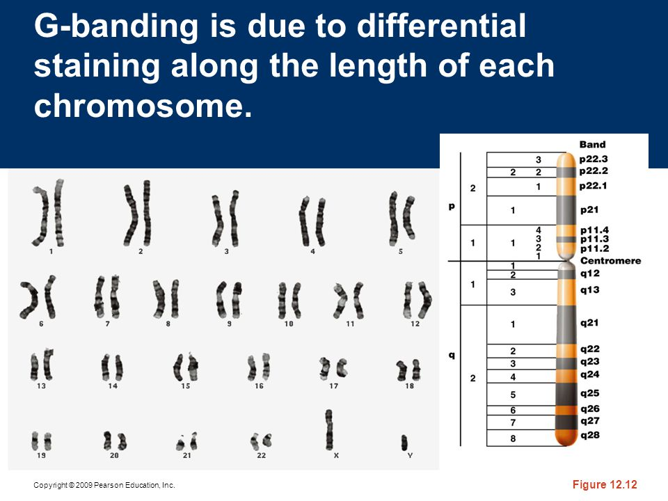 G-banding is due to differential staining along the length of each chromosome.