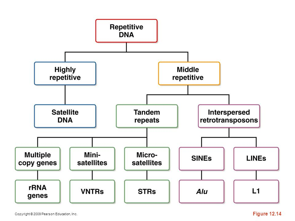 Figure 12-14 An overview of the various categories of repetitive DNA.