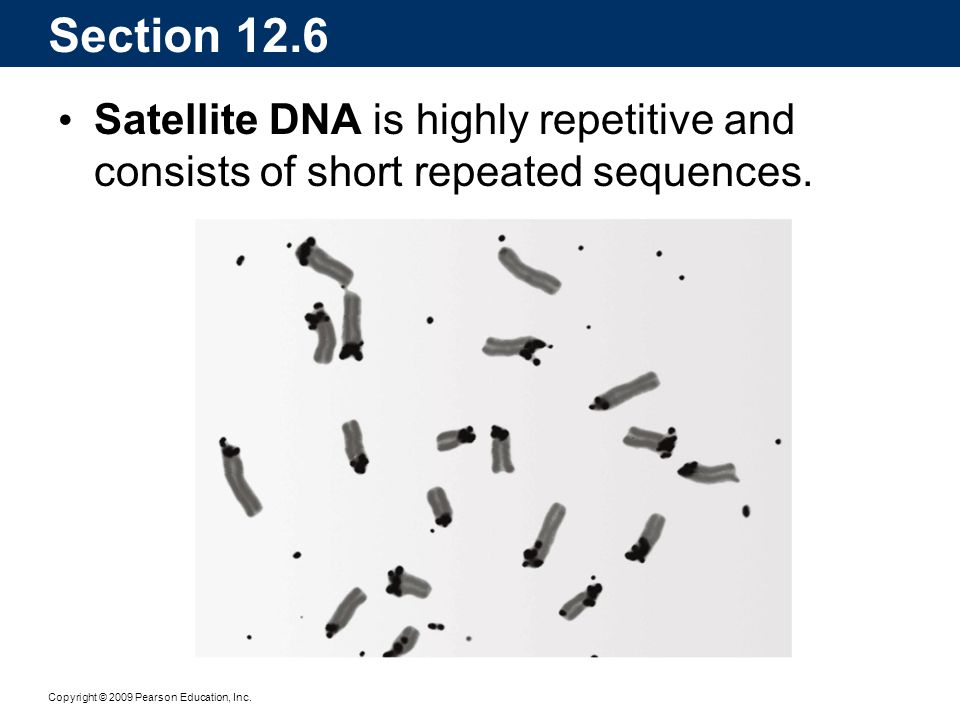 Section 12.6 Satellite DNA is highly repetitive and consists of short repeated sequences.