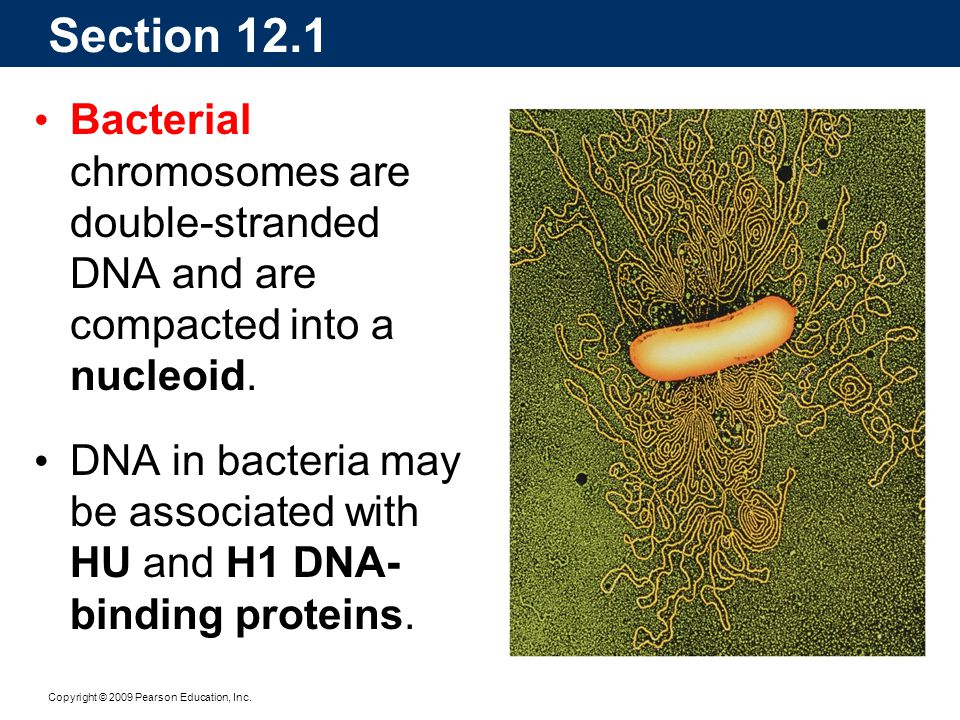 Section 12.1 Bacterial chromosomes are double-stranded DNA and are compacted into a nucleoid.