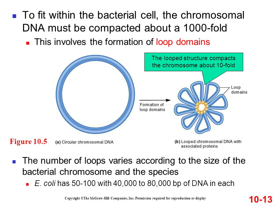The looped structure compacts the chromosome about 10-fold