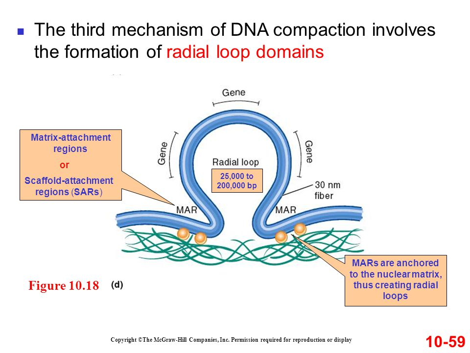 The third mechanism of DNA compaction involves the formation of radial loop domains