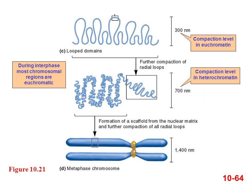 10-64 Figure 10.21 Compaction level in euchromatin