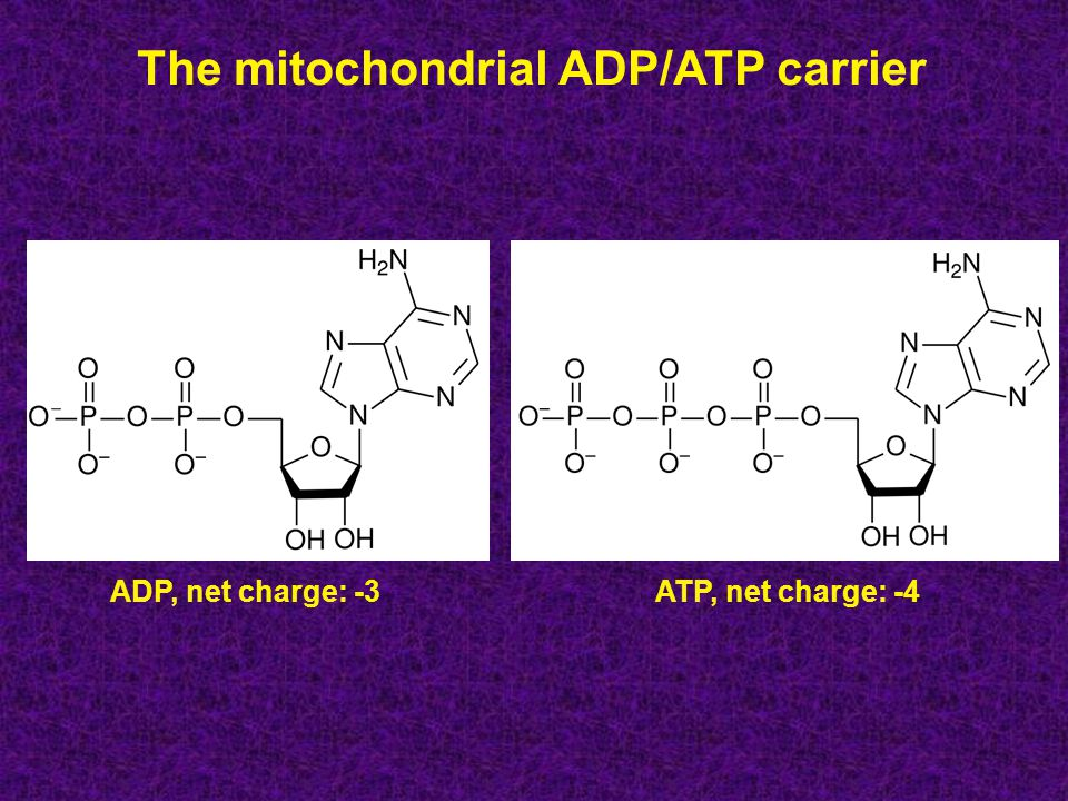 The mitochondrial ADP/ATP carrier