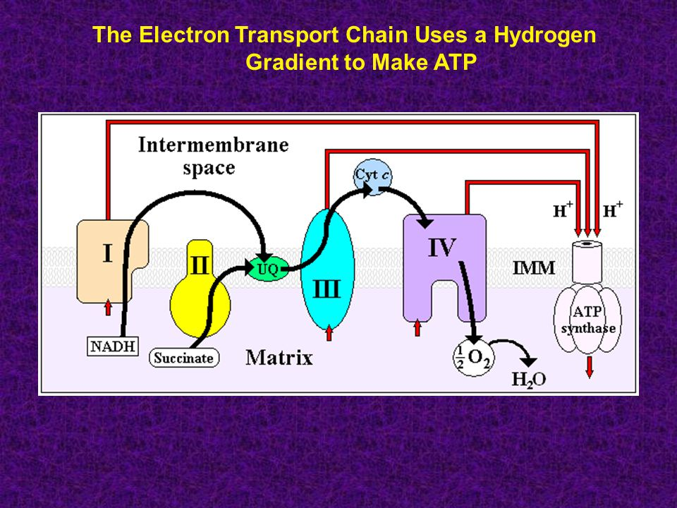 The Electron Transport Chain Uses a Hydrogen Gradient to Make ATP