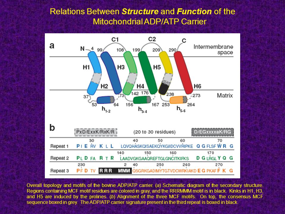 Relations Between Structure and Function of the Mitochondrial ADP/ATP Carrier