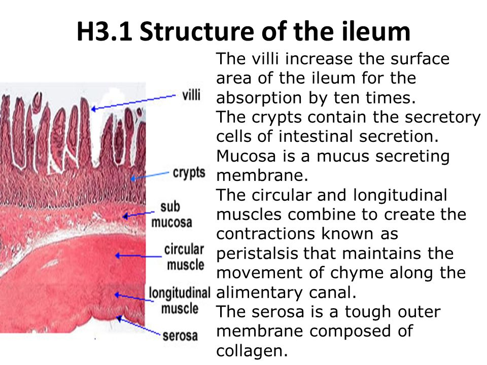 H3.1 Structure of the ileum
