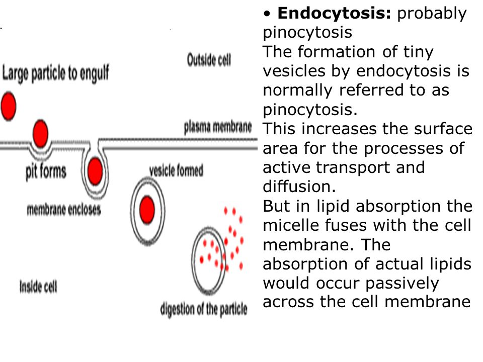 Endocytosis: probably pinocytosis