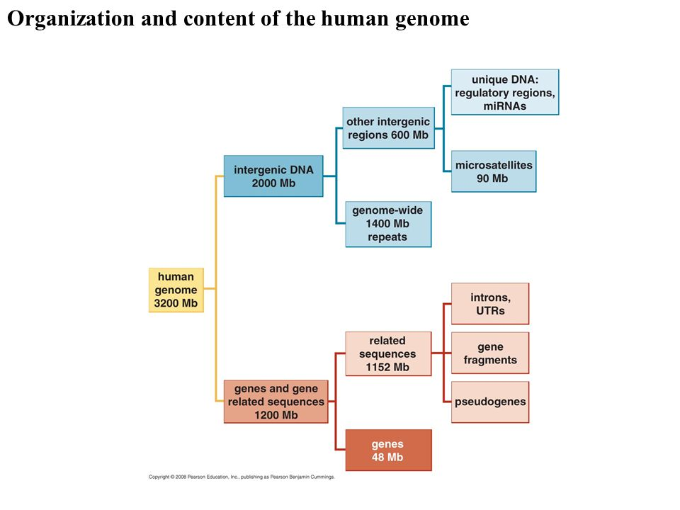 Organization and content of the human genome
