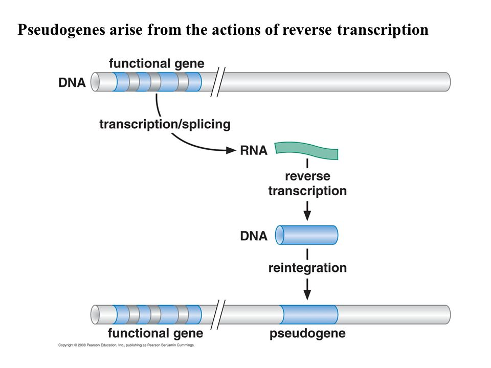 Pseudogenes arise from the actions of reverse transcription