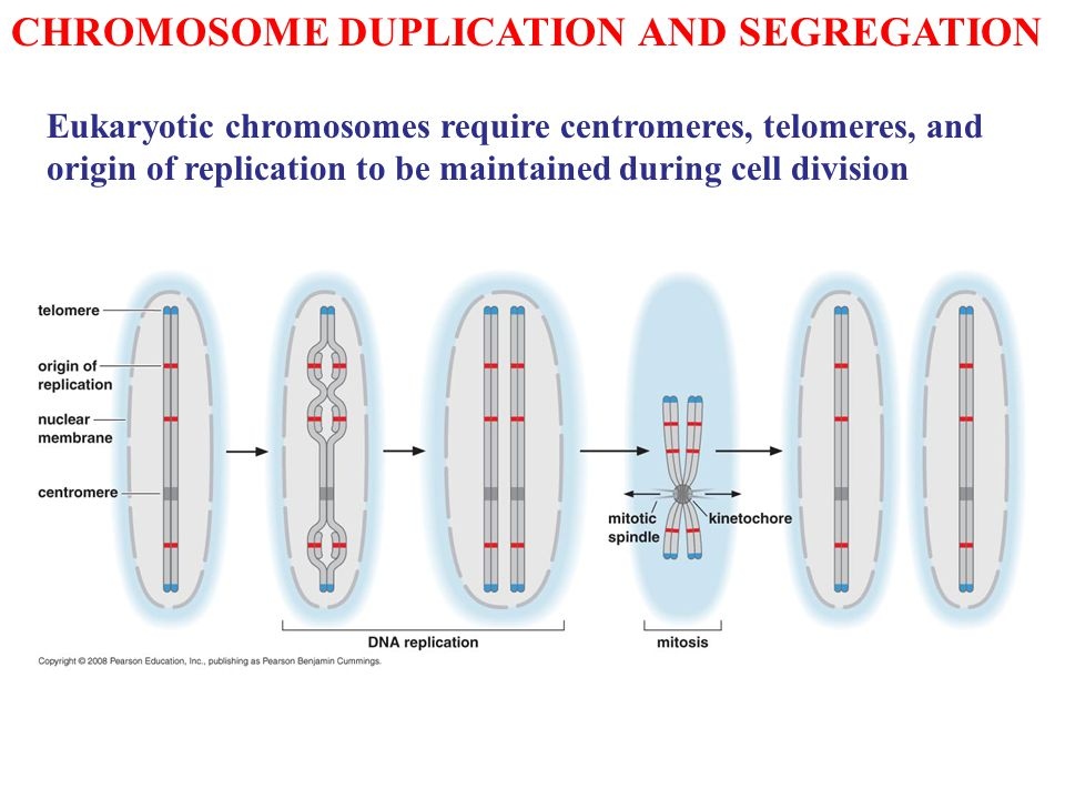 CHROMOSOME DUPLICATION AND SEGREGATION