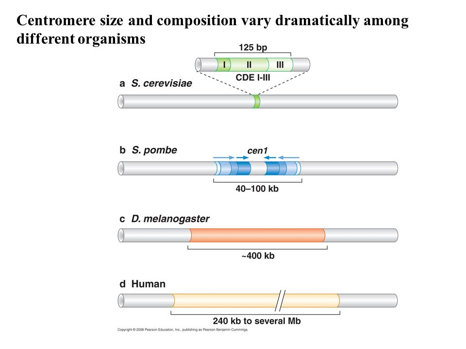 Centromere size and composition vary dramatically among different organisms