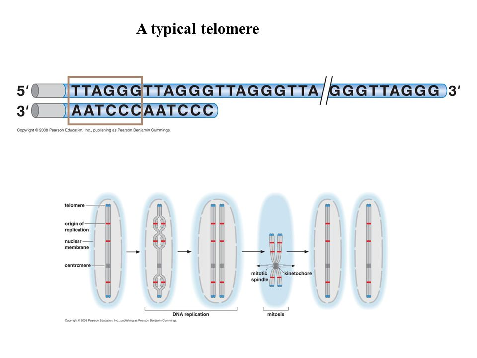 A typical telomere