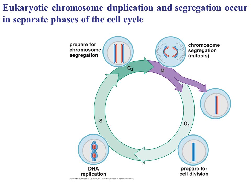 Eukaryotic chromosome duplication and segregation occur in separate phases of the cell cycle